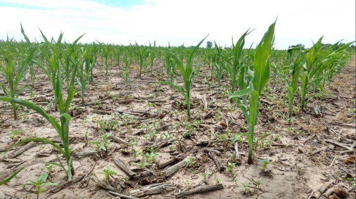 Expectativa. Se necesitan más lluvias para que el maíz pase enero sin daños.