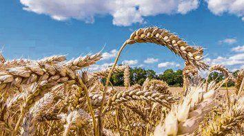 en alza. Los rindes del trigo fueron mejores a los esperados en Santa Fe.