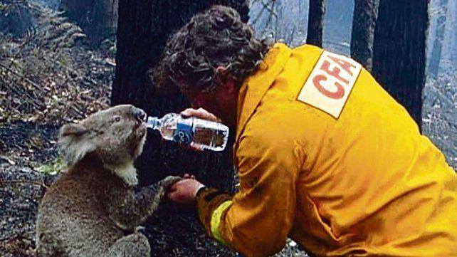 Un canto a la vida. Un rescatista auxilia a un koala que sobrevivió a los incendios que arrasan medio país.