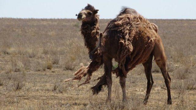 Desastre ambiental. Sacrificarán a camellos que generan riesgos.