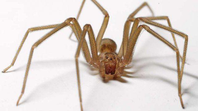 Peligro. La araña es más activa en verano y de movimientos rápidos. Su veneno destruye los tejidos.