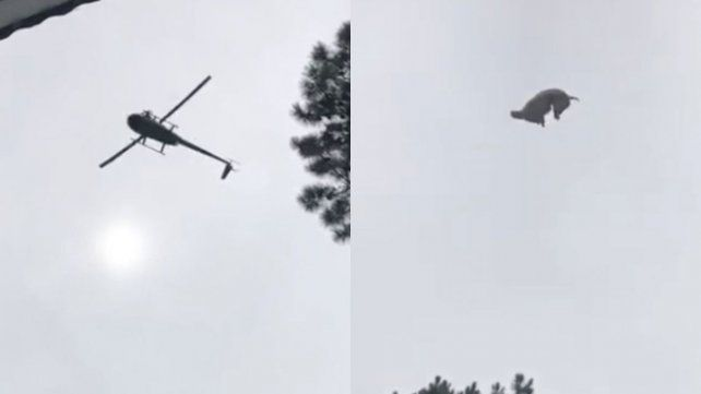 Confirman que el chancho estaba vivo cuando fue tirado desde un helicóptero