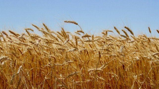 Tendencia. En los últimos cinco años Argentina duplicó su producción de trigo.