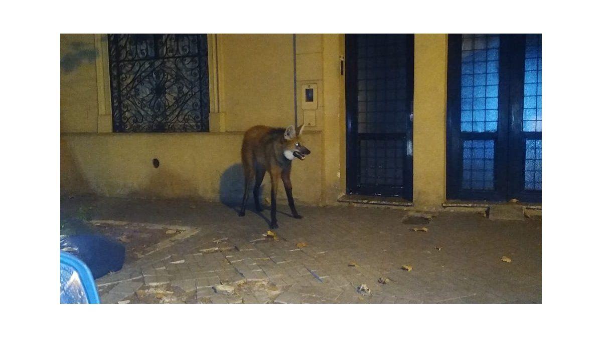 Insólito: apareció un ejemplar de aguará guazú, un animal en vías de extinción, perdido en Alberdi   Rosario, Cuarentena, aguará guazú