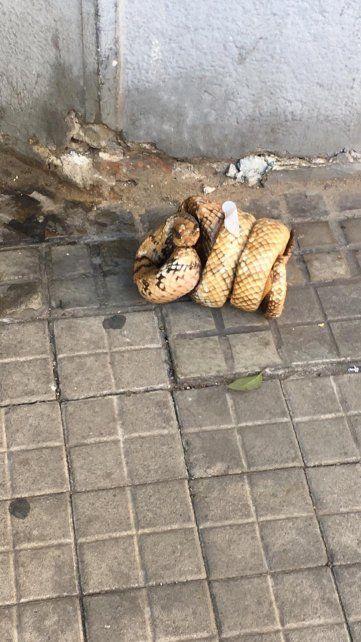 Susto y sorpresa por la aparición de una víbora en el centro de Rosario