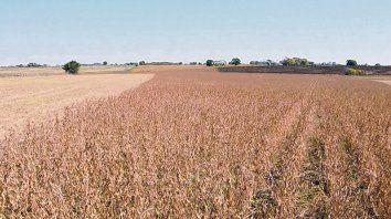 Nuevo ciclo. El Usda proyecta que la próxima campaña ronde las 53,5 toneladas de soja.