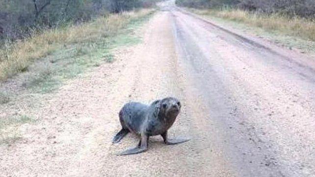 El animal fue divisado en un camino y fue trasladado a la reserva provincial Las Piedras de Gualeguaychú.