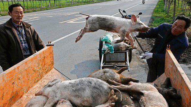 Banquina. Un trabajador chino carga cerdos muertos en una camioneta.