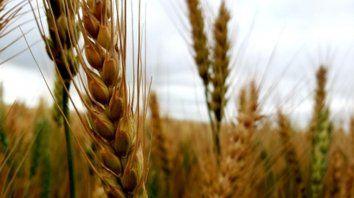 El trigo perderá 400 mil hectáreas por la falta de agua en los lotes