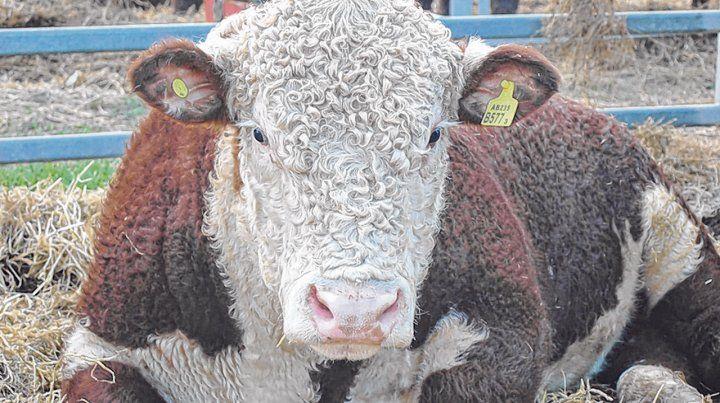 Ganadería. El Instituto de Promoción de Carne Vacuna analizó el escenario para el negocio vacuno.