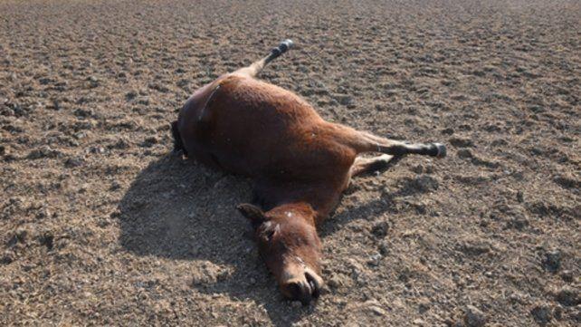 Fauna afectada. Un caballo muerto de sed en medio de la isla.