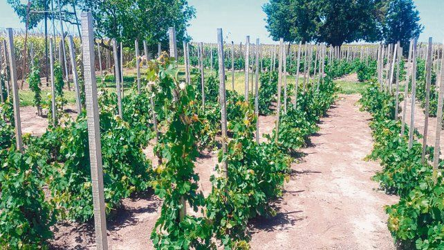 Producción. El viñedo se encuentra ubicado a pocos kilómetros de Carreras y cuenta con 800 plantas que fueron sembradas hace cinco años.