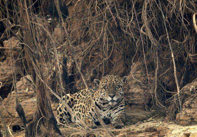 Un jaguar recorre una zona calcinada en el Pantanal