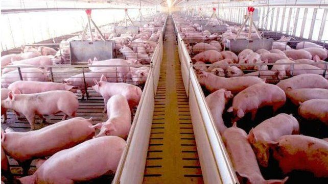 Preocupación por la posible inversión china en la producción porcina de la Argentina
