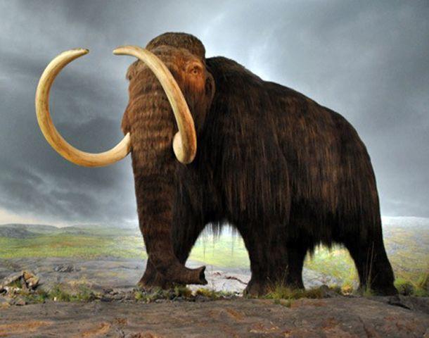 Los científicos introdujeron genes genes de mamuts en las células de su pariente cercano vivo