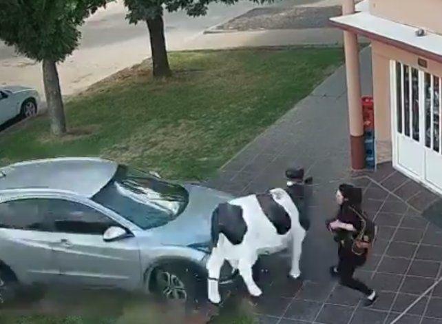 Impactante video: un ex Central atropelló a una mujer y a una vaca de utilería