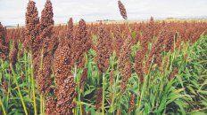 Opción. El sorgo terminó siendo la alternativa elegida en muchos lotes que venían complicados para implantar soja o maíz, por falta de humedad.