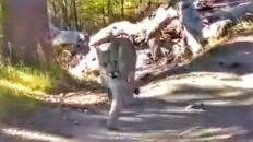 Un turista chaqueño se encontró con cinco pumas durante un paseo en el parque nacional Los Galciares.