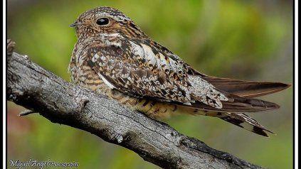 DORMILÓN. Con nido y pichones en el centro del continente, el querequeté se animó a más y nos visita.