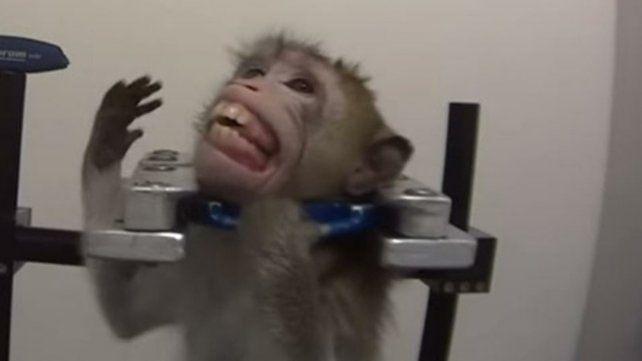 Maltrato animal. Un mono vive encerrado y sujeto del cuello.