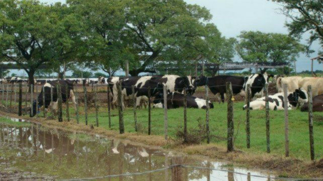 Las vaquitas son ajenas. Advierten que los productores lecheros se están mudando a la actividad frigorífica.