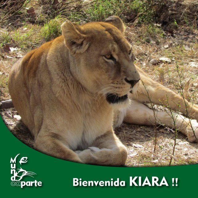 Una leona africana y un tigre de bengala fueron alojados en una ONG rosarina