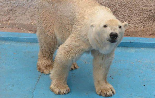 Personaje. Arturo es el último oso polar de Latinoamérica.