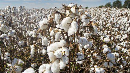 Algodón: claves para una campaña que proyecta sumar hectáreas