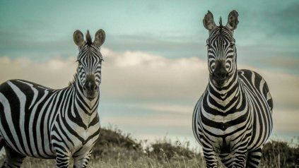 Argentina es el primer país en clonar cebras en laboratorio