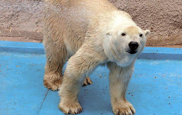 Mangueras para salvar al último oso polar del país.