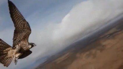 Un halcón salió de caza, capturó un drone y se lo llevó