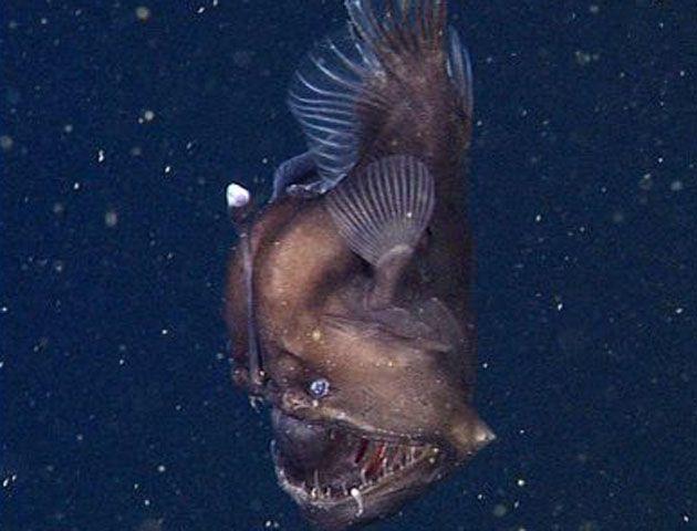 El pez fue grabado en el cañón submarino de Monterrey