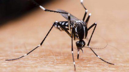 El Aedes aegypti pone sus huevos en las paredes de envases con agua, donde pueden sobrevivir por meses y nacen al ser sumergidos bajo agua. Pueden poner docenas de huevos hasta 5 veces durante su vida.