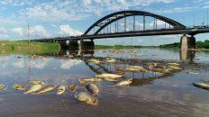 Desastre. Gran cantidad de peces flotan en el río Salado y eso generó una enorme preocupación de pescadores y autoridades provinciales.