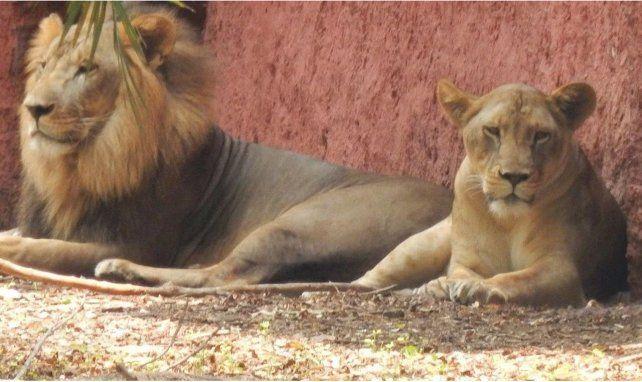 Ocho leones contrajeron coronavirus en un zoológico de India