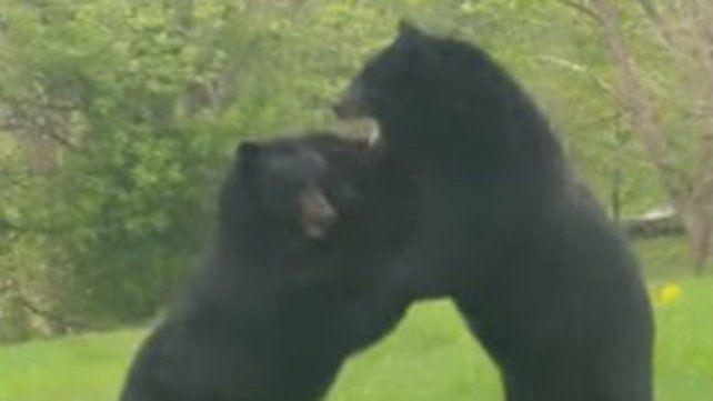 Escuchó ruidos en su patio y encontró a dos osos trenzados en una feroz pelea