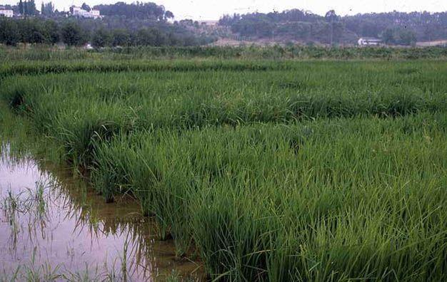 Producciones. El arroz es uno de los cultivos en problemas.