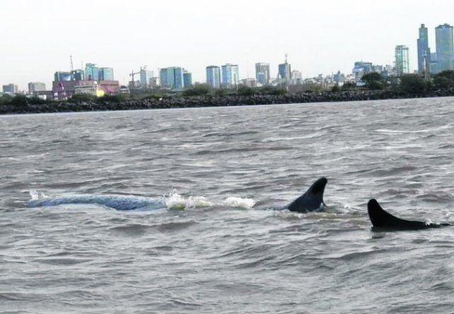 Dock Sud. El cetáceo apareció en la costa bonaerense.