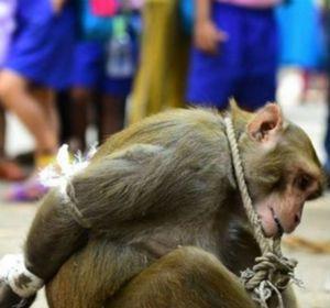 El travieso simio fue exhibido atado de manos ante los ciudadanos indios.