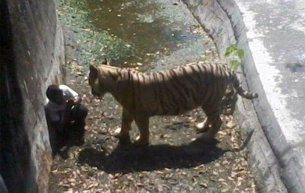 Un estudiante murió al caer en las garras de un tigre blanco en un zoológico de India