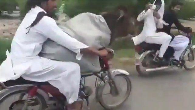 El video de una vaca viajando en moto causa furor en las redes