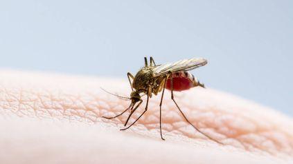 EL CAUSANTE. El mosquito Aedes Aegypti y -en menor medida- Aedes Albopicus son los transmisores del dengue.