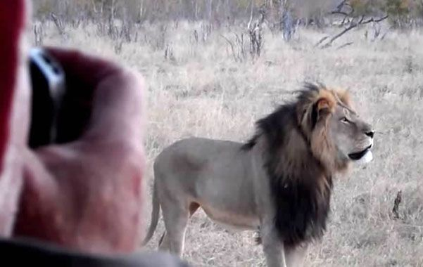 Un símbolo. Cecil era un macho de 13 años. Un flechazo lo hizo agonizar dos días
