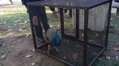 Un pavo real sorprendió a los vecinos de una plaza de la zona sur de Rosario