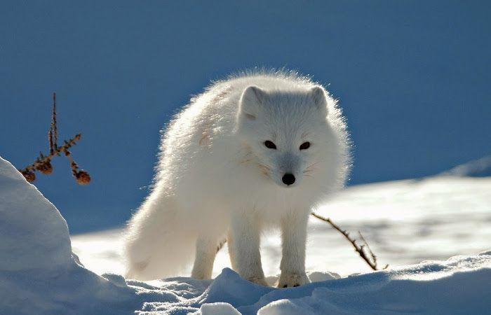 Un zorro polar se hace el muerto para poder escapar de un grupo de cazadores