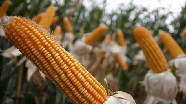 El maíz destronó a la soja y se afirma como el nuevo monarca de la campaña agrícola.
