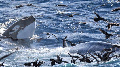 El momento en que una manada de 70 orcas acorralan y devoran a una cría de ballena azul