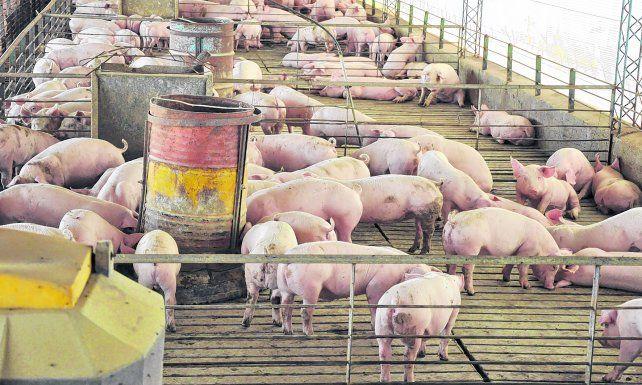 Desarrollo. La producción de cerdos es clave para el arraigo y la diversificación en el interior del país.