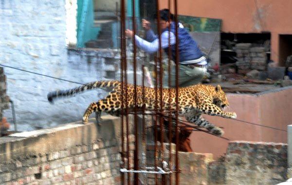 El leopardo logró evitar a sus perseguidores en la ciudad de Meerut.