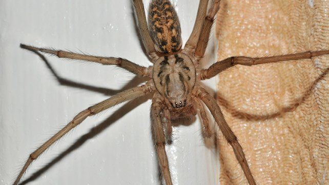 La araña gigante doméstica es una de las de mayor tamaño en Europa: llega a medir hasta 7